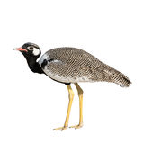 Northern Black Korhaan standing isolated on white background Stock Images