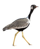 Northern Black Korhaan standing isolated on white background Stock Photography