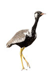 Northern Black Korhaan standing isolated on white background Stock Photos