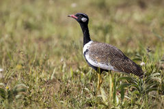 Northern Black Korhaan walking along green grass in sunshine Stock Photography