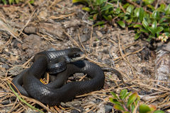 Northern Black Racer Royalty Free Stock Images