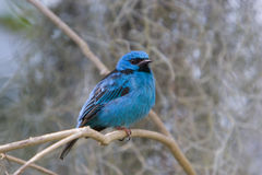 Northern Blue Dacnis (tanager). A Northern Blue Dacnis, a brilliant blue and black tanager sitting on a tree branch royalty free stock photo