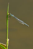 Northern Bluet Damselfly Stock Photography