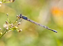 Northern Bluet (Enallagma cyathigerum) Royalty Free Stock Photography