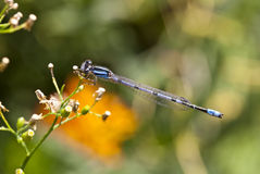 Northern Bluet (Enallagma cyathigerum) Royalty Free Stock Photos