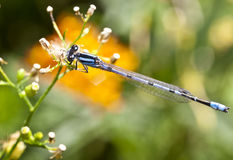 Northern Bluet (Enallagma cyathigerum) Stock Image