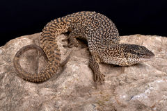 Northern Blunt-spined Monitor, Varanus primordius. The Northern Blunt-spined Monitor, Varanus primordius, is a dwarf monitor species found in northern Australia Stock Photography