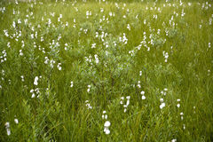 Northern bog with the blossoming cotton grass Stock Photos