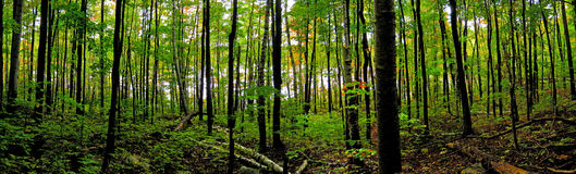 Northern Boreal Forest. In Ontario during the start of the fall season Royalty Free Stock Photo