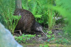 Northern brown kiwi. In the fern growth royalty free stock image