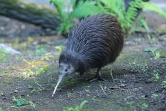 Northern brown kiwi. Strolling in the soil royalty free stock photography