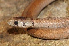 Northern Brown Snake Storeria dekayi Royalty Free Stock Photos