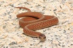 Northern Brown Snake (Storeria dekayi) Stock Images