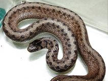 Northern Brown Snake Stock Images