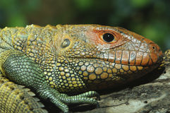 Northern Caiman Lizard Stock Photos
