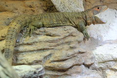 Northern caiman lizard Royalty Free Stock Photo