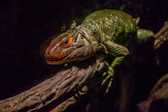Northern Caiman Lizard Stock Photography