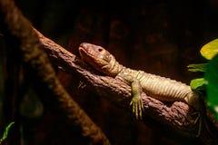 Northern Caiman Lizard Stock Photos