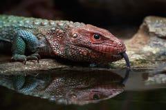 Northern caiman lizard (dracaena guianensis) Royalty Free Stock Image