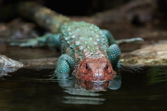 Northern caiman lizard (dracaena guianensis) Royalty Free Stock Photography