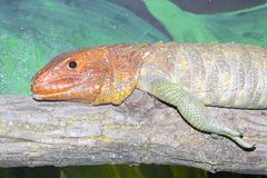Northern caiman lizard. Dracaena guianensis male portrait on a tree royalty free stock images