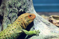 Northern Caiman Lizard Royalty Free Stock Photos