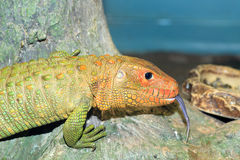 Northern Caiman Lizard Stock Image