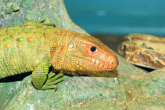 Northern Caiman Lizard Stock Images