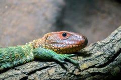 Northern Caiman Lizard (Dracaena guianensis) Royalty Free Stock Photo