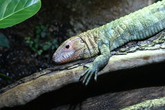 Northern Caiman Lizard - Dracaena guianensis Royalty Free Stock Images