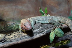 Northern Caiman Lizard - Dracaena guianensis Stock Photography