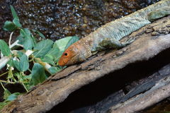 Northern Caiman Lizard - Dracaena guianensis Stock Photo