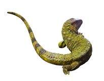 Northern Caiman Lizard. Isolated  over white Royalty Free Stock Photography