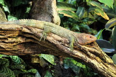 Northern caiman lizard Stock Photo