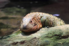 Northern caiman lizard Royalty Free Stock Image