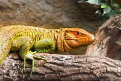 Northern caiman lizard sitting on the tree Stock Photos