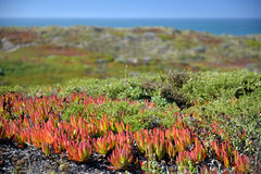Northern California coast, with clusters of invasive Ice Plant Stock Image