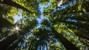Northern California Redwoods stock footage