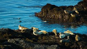 Northern California Seals stock footage