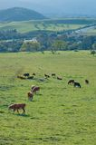 Northern California view. Cows grazing stock photos