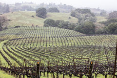 Northern California Vineyard. A large vineyard covers green hills in northern California Royalty Free Stock Photo