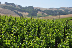 Northern California vinyard Stock Photos