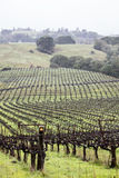 Northern California Winery. A large vineyard covers green hills in northern California Stock Image