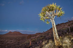 Northern Cape quiver tree. Quiver tree on hill, in the Northern Cape, South Africa Royalty Free Stock Image