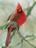 Northern Cardinal 1 Royalty Free Stock Photo