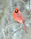 Northern Cardinal Royalty Free Stock Images