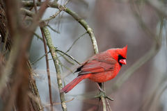 Northern Cardinal. Perched on a branch with a quizzicle expression Royalty Free Stock Photography