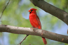 Northern Cardinal. (Cardinalis cardinalis) in all his colorful splendor shows off for the ladies Royalty Free Stock Photo