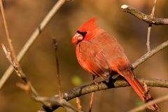 Northern Cardinal. With red berry royalty free stock photos