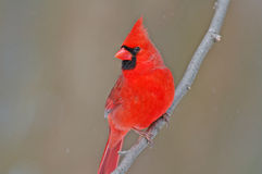 Northern Cardinal. Photgraph of a brilliant red male Northern Cardinal perched on a branch as it approaches a Wisconsin birdfeeder Royalty Free Stock Photos